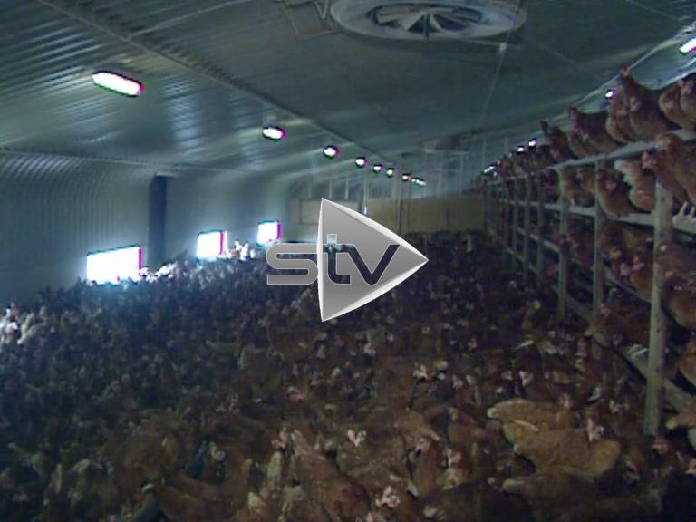 Raving Chickens